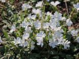 Weißes Immergrün 'Alba' / Vinca 'Alba', 15-20 cm, Vinca minor 'Alba', Topfware