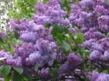 Wildbäume u. Wildsträucher - Wildflieder / Gemeiner Flieder, 100-150 cm, Syringa vulgaris, Wurzelware