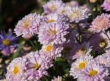 Stauden - Winteraster 'Andante', Chrysanthemum x hortorum 'Andante', Topfballen