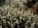 Englische Heide 'White Perfection'  Erica darleyensis