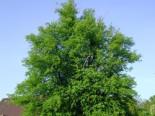 Laubbäume - Winterlinde / Steinlinde, 125-150 cm, Tilia cordata, Wurzelware