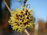 Zaubernuss 'Primavera', 30-40 cm, Hamamelis intermedia 'Primavera', Containerware