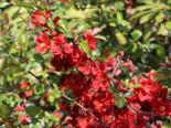 Blütensträucher und Ziergehölze - Zierquitte 'Elly Mossel', 30-40 cm, Chaenomeles 'Elly Mossel', Containerware