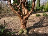 Laubbäume - Zimtahorn, 100-125 cm, Acer griseum, Containerware