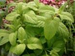 Kräuter- und Teepflanzen - Zitronenmelisse, Melissa officinalis, Topfballen