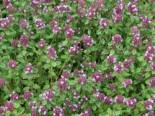 Zitronenthymian, Thymus x citriodorus, Topfware