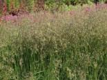 Gräser - Zittergras, Briza media, Topfballen