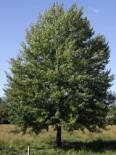 Wildbäume u. Wildsträucher - Zitterpappel / Espe /, 125-150 cm, Populus tremula, Containerware