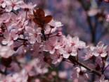 Blutpflaume / Zwerg Blutpflaume Prunus cistena