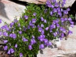 Steingarten - Zwerg-Glockenblume, Campanula cochleariifolia, Topfballen