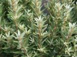 Laubbäume - Zwerg-Sanddorn 'Hikul' / 'Silverstar' (männlich), 30-40 cm, Hippophae rhamnoides 'Hikul' / 'Silverstar' (männlich), Containerware