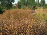 Laubbäume - Zwergbirke / Polarbirke, 30-40 cm, Betula nana, Containerware