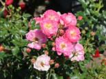 Zwergrose 'Charmant' ®, Rosa 'Charmant' ® ADR-Rose, Containerware