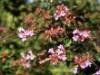 immergrüne Laubbäume - Abelie 'Edward Goucher', 30-40 cm, Abelia 'Edward Goucher', Containerware