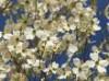 Blütensträucher und Ziergehölze - Amerikanischer Blumen-Hartriegel, 100-125 cm, Cornus florida, Containerware