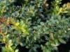 immergrüne Laubbäume - Berberitze 'Parkjuweel', 30-40 cm, Berberis media 'Parkjuweel', Containerware