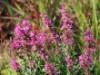 Blut-Weiderich 'Robert', Lythrum salicaria 'Robert', Containerware