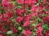 Blutjohannisbeere 'Atrorubens', 80-100 cm, Ribes sanguineum 'Atrorubens', Containerware