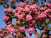 Blütensträucher und Ziergehölze - Echter Rotdorn 'Paul's Scarlet', 60-100 cm, Crataegus laevigata 'Paul's Scarlet', Wurzelware