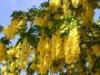 Edelgoldregen 'Vossii', 125-150 cm, Laburnum watereri  'Vossii', Containerware