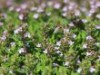 Gedrungener Thymian 'Compactus', Thymus vulgaris 'Compactus', Containerware