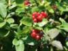 Wildbäume u. Wildsträucher - Gemeine Heckenkirsche / Rote Heckenkirsche, 60-100 cm, Lonicera xylosteum, Wurzelware