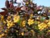 Blütensträucher und Ziergehölze - Große Blutberberitze 'Superba', 100-150 cm, Berberis ottawensis 'Superba', Containerware
