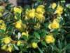 Immergrüne Kugelberberitze 'Amstelveen', 30-40 cm, Berberis frikartii 'Amstelveen', Containerware