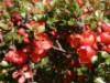Wildbäume u. Wildsträucher - Japanische Zierquitte / Niedrige Scheinquitte, 40-60 cm, Chaenomeles japonica, Wurzelware