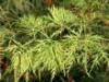 Laubbäume - Japanischer Ahorn 'Green Cascade', 40-60 cm, Acer japonicum 'Green Cascade', Containerware
