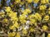 Wildbäume u. Wildsträucher - Kornelkirsche, 125-150 cm, Cornus mas, Containerware