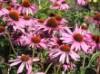 Freiflächen - Purpurroter Scheinsonnenhut, Echinacea purpurea, Containerware