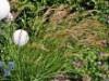 Gräser - Silberährengras weiß /  Ränkgras, Achnatherum calamagrostis, Topfballen