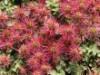 Stachelnüsschen, Acaena microphylla, Topfballen