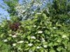 Wildbäume u. Wildsträucher - Tatarischer Hartriegel / Weißer Hartriegel, 60-100 cm, Cornus alba, Wurzelware