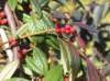 immergrüne Laubbäume - Weidenblättrige Hängemispel, 125-150 cm, Cotoneaster salicifolius floccosus, Containerware
