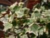 Produkt ohne Kategoriezuordnung - Weißgrüner Efeu 'Glacier', 60-80 cm, Hedera helix 'Glacier', Containerware