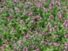 Produkt ohne Kategoriezuordnung - Zitronenthymian, Thymus x citriodorus, Topfballen