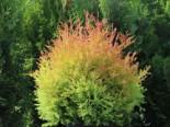 Abendländischer Lebensbaum 'Fire Chief', 20-30 cm, Thuja occidentalis 'Fire Chief', Containerware