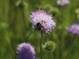 Acker-Witwenblume, Knautia arvensis, Topfware