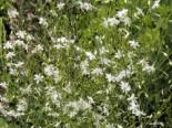 Ästige Graslilie / Rispige Graslilie, Anthericum ramosum, Topfware