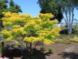 Japanischer Goldahorn 'Aureum', Stamm 50-60 cm, 70-80 cm, Acer shirasawanum 'Aureum', Stämmchen