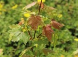 Ahorn 'Jeffersred Autumn Blaze' ®, Acer freemanii 'Jeffersred Autumn Blaze' ®, Topfware