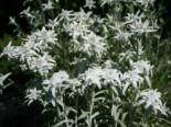 Alpen Edelweiß, Leontopodium alpinum, Topfware