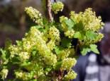 Alpen-Johannisbeere 'Schmidt', 40-60 cm, Ribes alpinum 'Schmidt', Containerware
