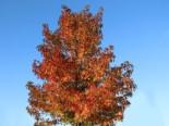Amberbaum 'Oktoberglut', 60-80 cm, Liquidambar styraciflua 'Oktoberglut', Containerware