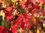 Amerikanische Amberbaum 'Slender Silhouette', 60-80 cm, Liquidambar styraciflua 'Slender Silhouette', Containerware
