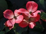 Cornus florida 'Royal Red'