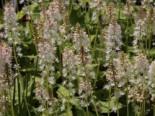 Amerikanische Schaumblüte, Tiarella wherryi, Topfware