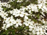 Cornus nuttallii 'Monarch'